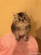 قطط صغيره للحجز - الاحساء