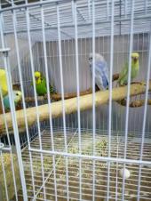 جوزين طيور البادجي