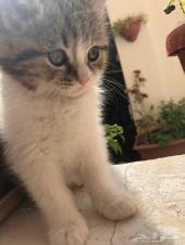 قطط شيرازية عمر 2 شهور