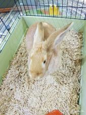 عدد 2 ارانب للبيع العمر 6 شهور