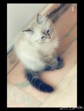 قطه صغيره للبيع
