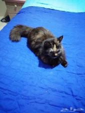 للبيع قط شيرازي أنثى العمر 4شهور