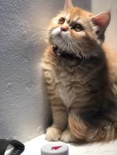 قطة شيرازية للبيع ( الاحساء )