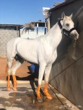 حصان عربي مصري بيور