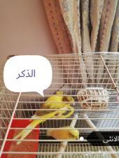 كناري ايراني للبيع