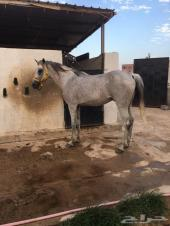 حصان شعبي شيخ شيخ طرب تحمل رزة