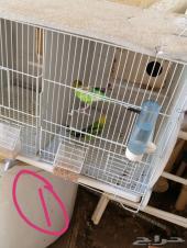 طيور حب للبيع او بادجي