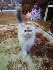 قطه بيكي فيس