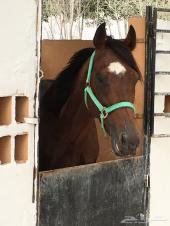 حصان شعبي جده