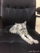 للبيع عدد 2 قطة شيرازي (انثى)