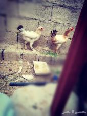 دجاج براهما مهجن سروله