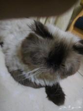 قطة للبيع هملايا ذكر
