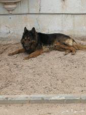 كلب جيرمن لونق هير