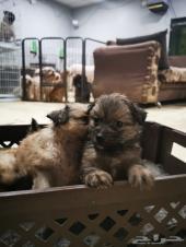 جراء بوميرينيان على الحجز pomeranian puppies