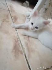 قطة شيرازية صغيرة
