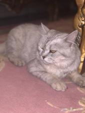 قط شيرازي للبيع