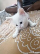 للبيع مستعجل قطة شيرازية معها بنتها