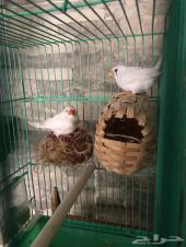 طيور زيبرا اوحسون