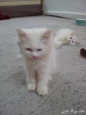 قطط شيرازيه - تم البيع