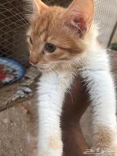 قطط شيرازي صغيره