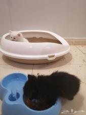 قطط صغيره كيتنز  كيتن