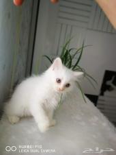 قط شيرزاي صغير عمره شهرين