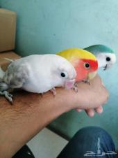 طيور أليفة ومدربة للهدد أجمل الوان