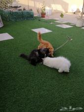 قطط شيرازية اليفة للبيع العمر 4 أشهر ونصف