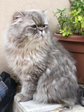قط هاف بيكي جميل للبيع