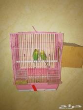 عصافير الحب مع القفص مع بياضة بشكل جميل