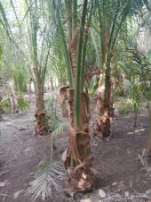 اشجار وشتلات للبيع بأسعار منافسه