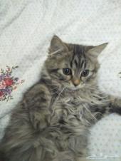 قطط شيرازي تايجر للبيع
