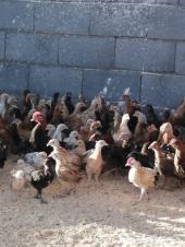 صوص دجاج بلدي