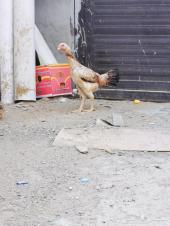 دجاجه شاموه بلجيكي