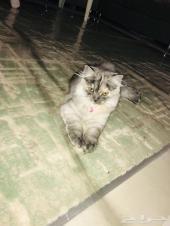 قطه شيرازيه رماديه لتبني