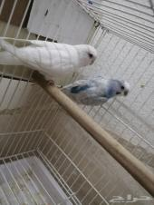 طيور حب زوج للبيع