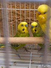 طيور الحب بادجي ( تم البيع )