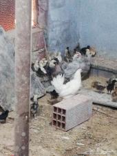 دجاج بلدي بياض اللون فواتح