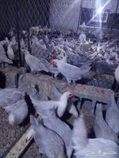 دجاج فيومي الالمنيو