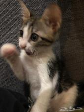 قطة لعوبة صغيرة