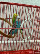 زوج طيور حب بادجي لون وتغريد روعه