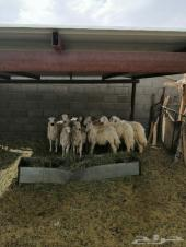 25 خروف و 18 رخل بلديات صفر وحرش