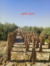 مزرعةنخيل عربي وزيتون للبيع في مصرالصف-الجيزة
