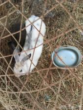ارنب انثى سوبر جامبو