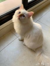 قطط هملايا مستوا