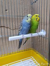 طيور حب زوج