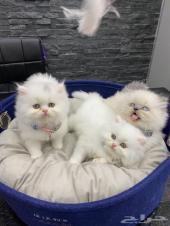 قطط بيرشن لعشاق الفخامة (تم البيع)