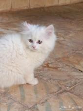 قطط شيرازي للبيع - عرعر