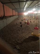 مزرعة دواجن للاجار