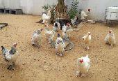 دجاج ابراهما